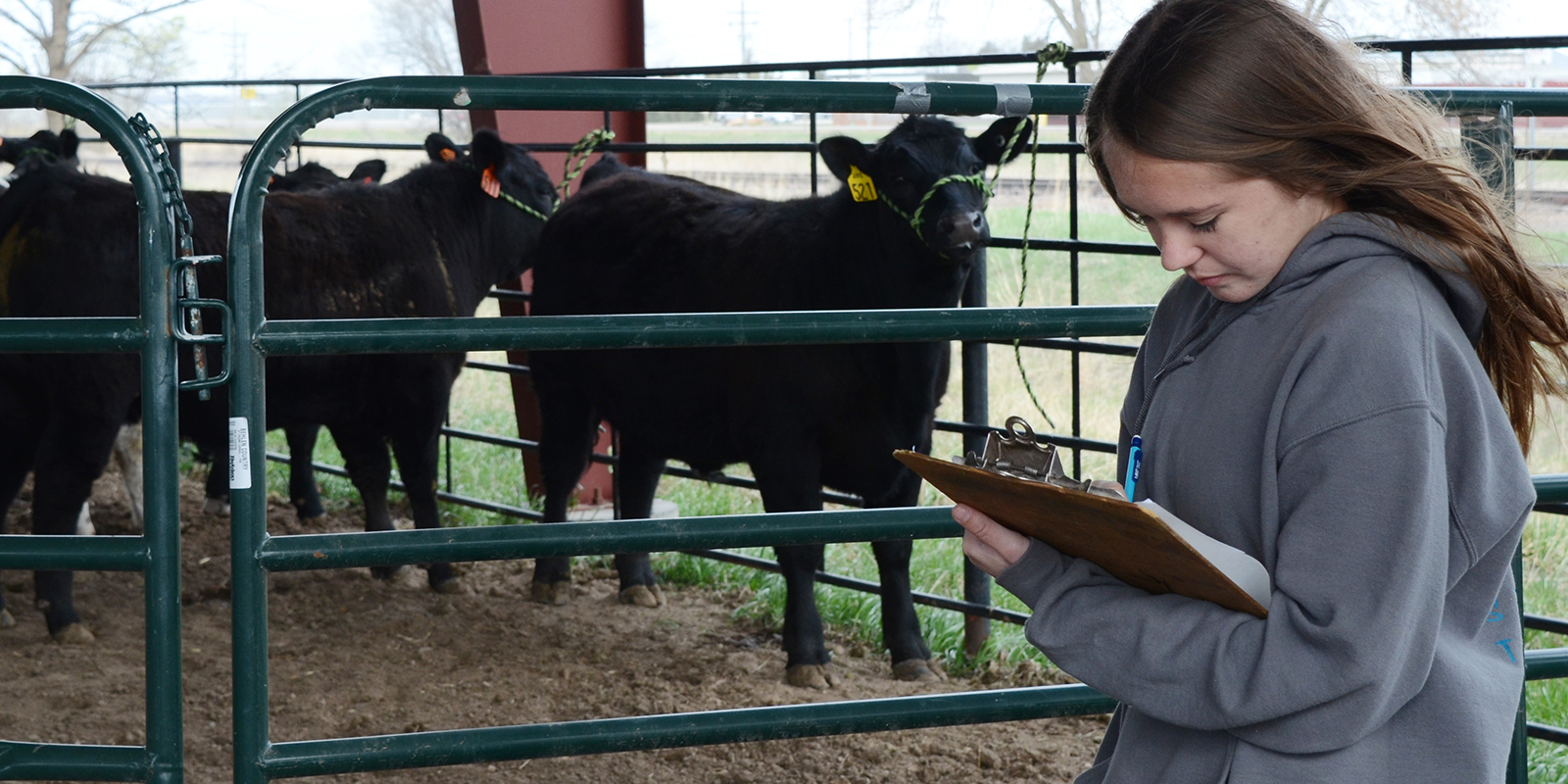 A girl looking at cows.