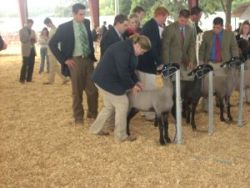Students judging lambs.
