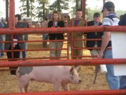 Students judging pigs.
